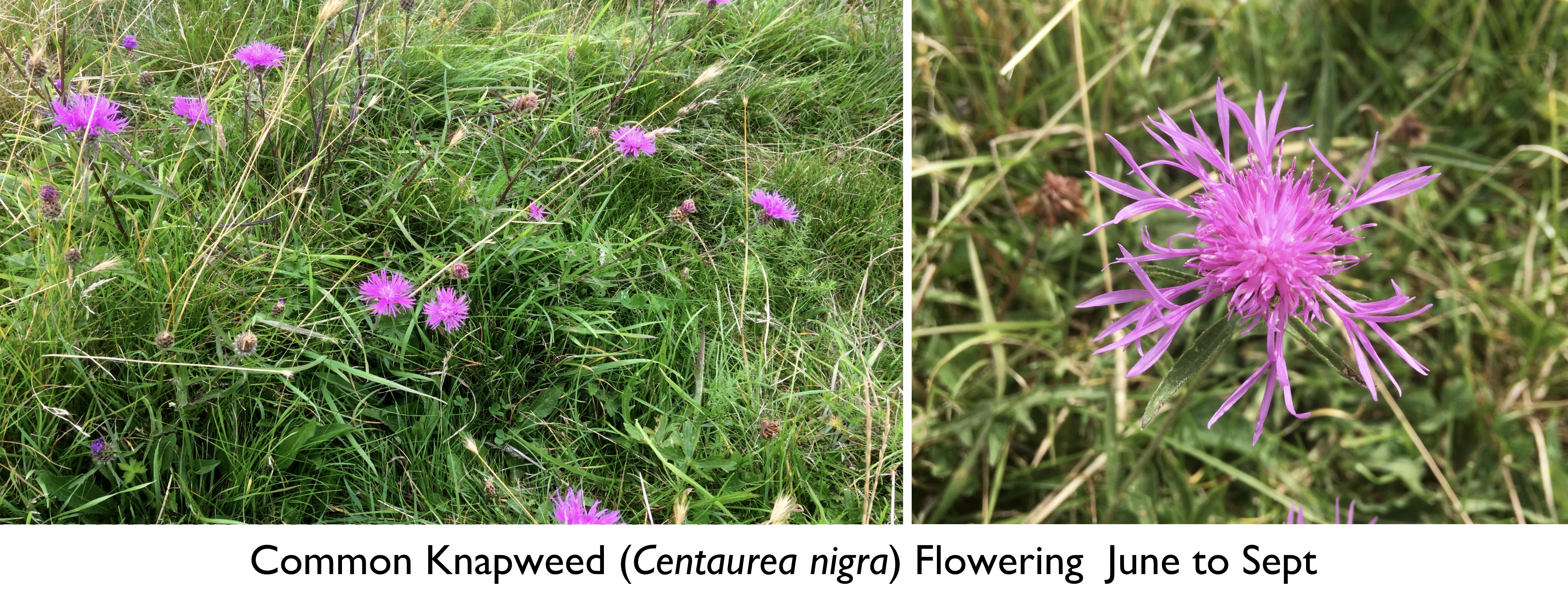Creeping Marshwort Montage